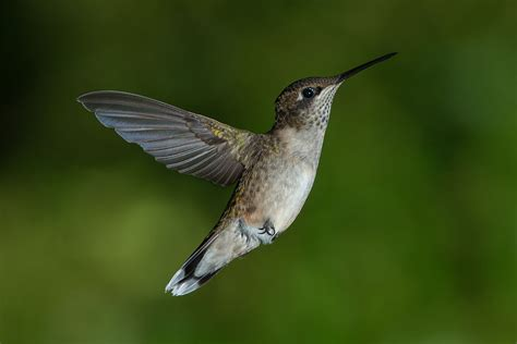 research shows hummingbirds hover like insects motherboard
