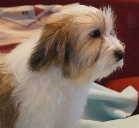 havanese for sale in havanese puppy boy for sale ely cambridgeshire pets4homes
