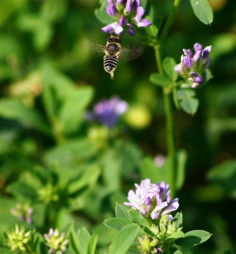 Herbal Bee Alfalfa Organic Alfalfa Extract Tincture