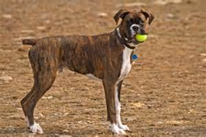 boxer colors introducing brindle boxer dogs coloring and characteristics