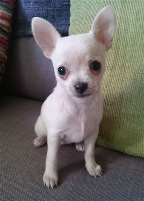white chihuahua puppies for sale tiny white chihuahua for sale smooth coat manchester greater manchester