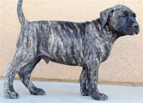 presa canario puppies for sale in perro de presa canario puppy breeder in southern california