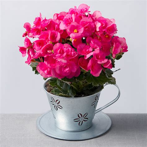 flowers by post begonia in zinc teacup house plants bunches co uk