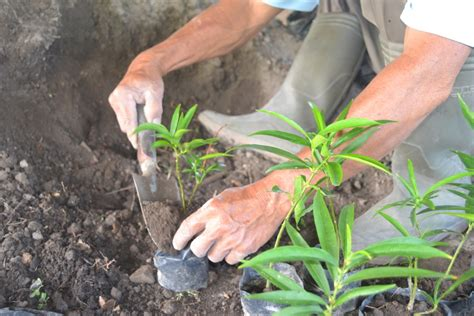 budidaya tanaman obat merapi farma herbal