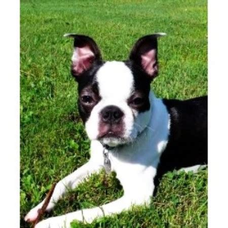 free puppies in maine whispering pines kennel boston terrier breeder in maine