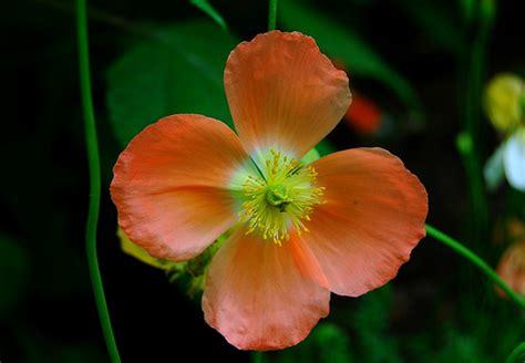 Cyntia New Syari Flower 1 my four petals flower natureloving flickr
