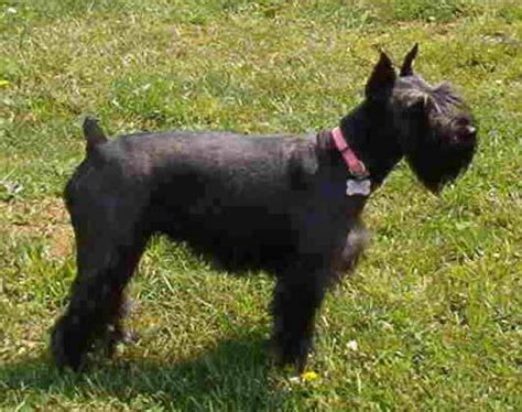 standard schnauzer puppies standard schnauzer puppies