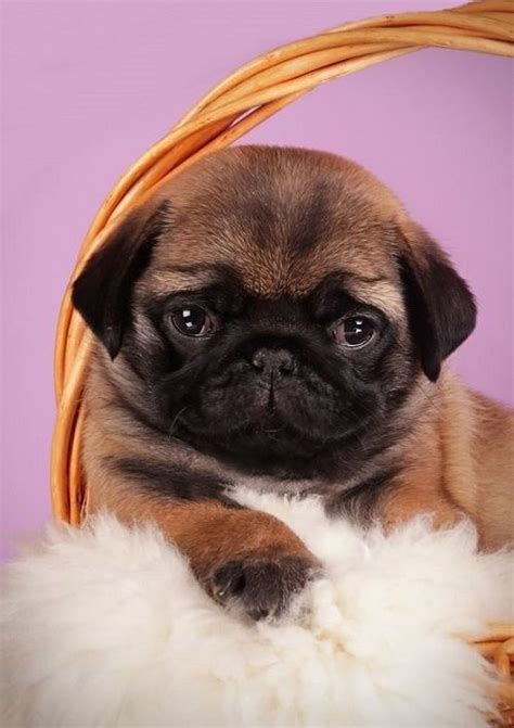 apricot pug puppy 205 best silver apricot pug puppies images on baby pugs pug puppies and