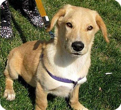 golden retriever island ny costello adopted puppy shelter island ny golden retriever basset hound mix