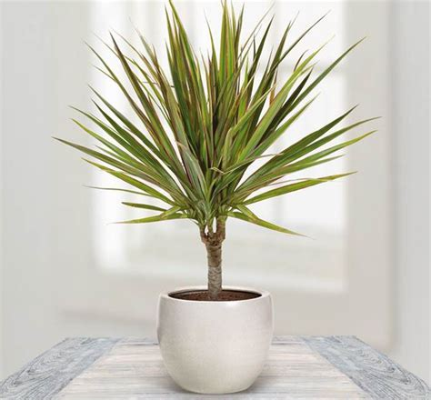 buy house plants now dracaena marginata green bakker com how to grow madagascar dragon tree