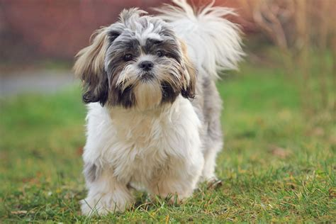 healthy shih tzu mix emma euthanized   buried  owner crime news