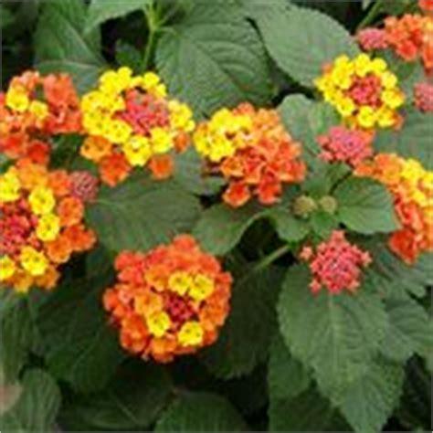 fiori arancioni nomi piante perenni piante da giardino piante perenni arbusti