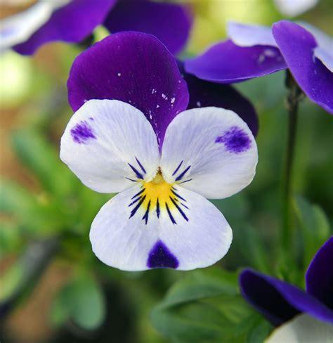 fiore viole panse o violetta pensiero