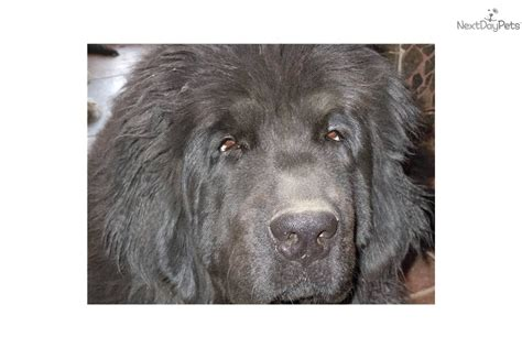 newfoundland puppies for sale in wi newfoundland puppy for sale near janesville wisconsin be19c7b0 6ae1
