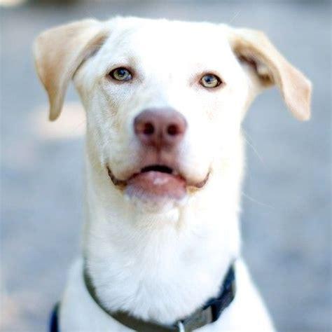 pitbull lab puppies bronson labrador retriever pit bull mix dogs