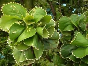 Green Leaf Flowers - file acalypha wilkesiana forma circinata jpg wikipedia