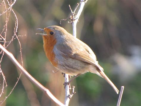 image gallery european robin