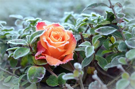 rosa d inverno fiore foto gratis rosa pianta fiore gelo inverno