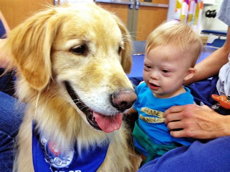 therapy golden retrievers meet eli the physical therapy golden retriever noah s new best friend