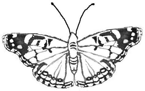 coloring page of painted lady butterfly facts about the painted lady butterfly