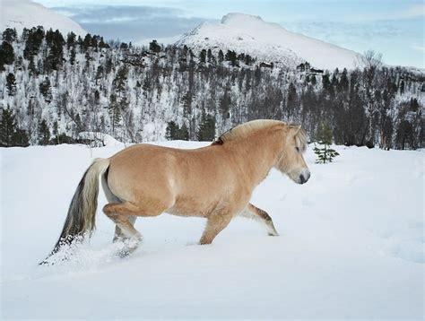 fjord tough 131 best dream horse images on pinterest fjord horse
