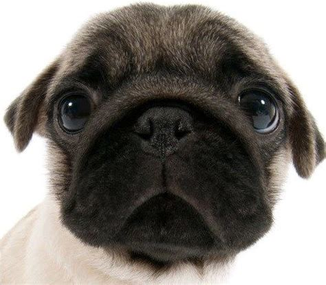 best pug breeders best 25 pug puppies ideas on pug puppies pugs and pugs