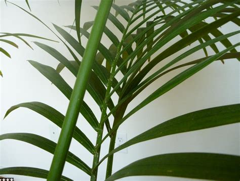 palm house plants identify houseplants www imgkid com the image kid has it