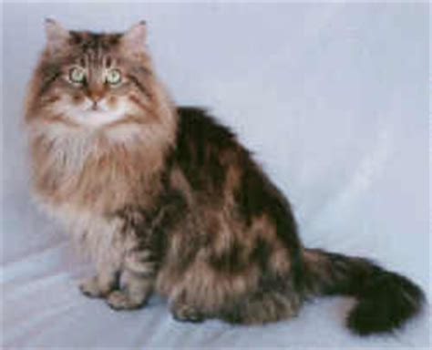 Sho Kucing Paling Murah indahnya berbagi 10 jenis kucing paling mahal di dunia