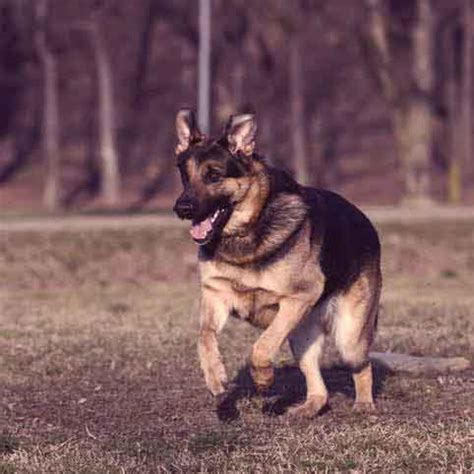 how to my puppy to be a guard how to a german shepherd to be a guard petcarerx
