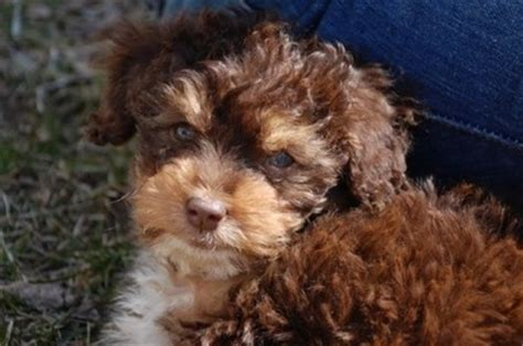 mini aussiedoodle ontario miniature aussiedoodle breed information and pictures