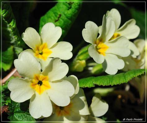 nomi fiori primaverili fiori di primavera il regno delle piante a passeggio