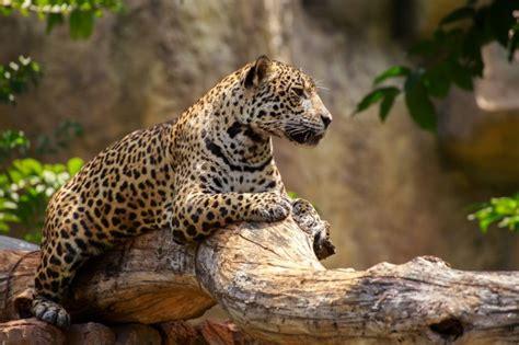 is jaguar endangered new book quot deadzone quot explores how factory farming hurts