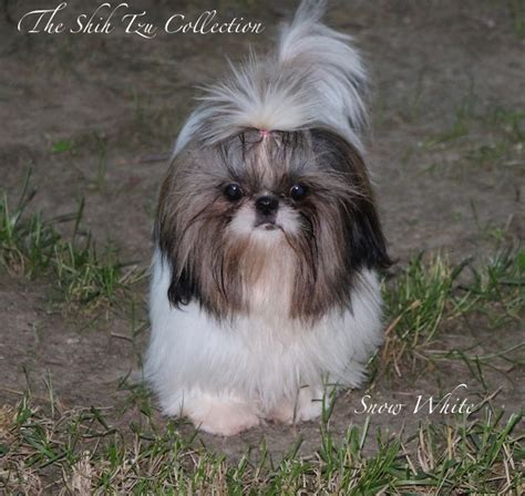 chion shih tzu breeders the shih tzu collection s stock