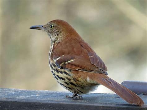 Backyard Hockey - brown thrasher backyard bird nerd