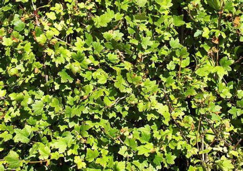 Sichtschutz Garten Pflanzen Ungiftig by Ungiftige Heckenpflanzen F 252 R Spielpl 228 Tze Kinderg 228 Rten