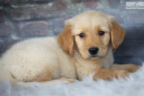golden retriever breeders mo golden retriever for sale in missouri breeds picture