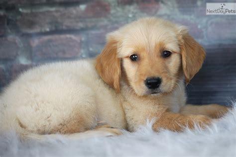 golden retriever breeders in missouri landon golden retriever puppy for sale near southeast missouri missouri bb4c9971 0d31