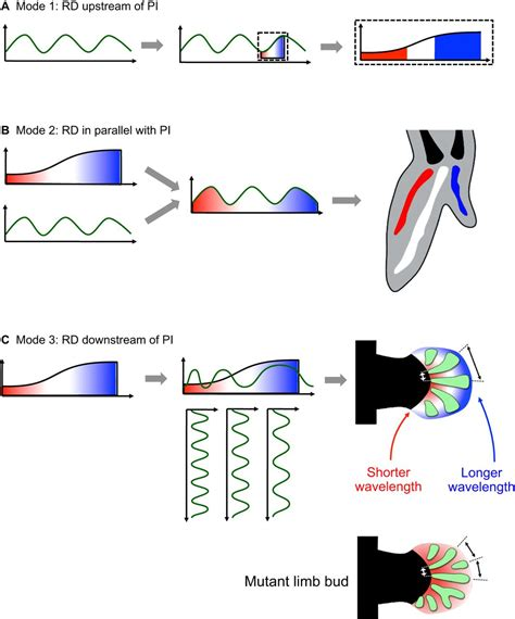 pattern formation in limb development positional information and reaction diffusion two big
