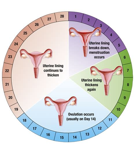 The signs and symptoms of ovulation Female Period Cycle