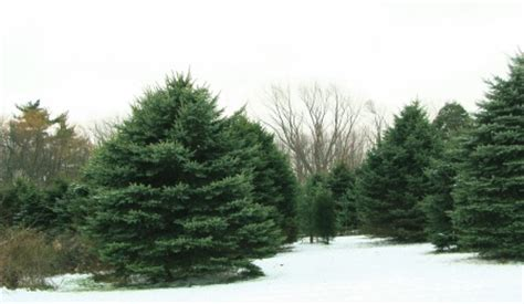 christmas tree farms near the lake michigan shoreline