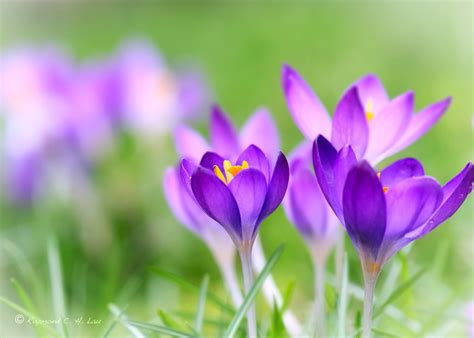spring flower spring flower by raylau on deviantart