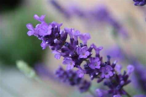 Lavender Flowers 5 perennial herbs to grow in your garden gardenswag
