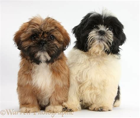 shih tzu puppies black and brown dogs brown and black and white shih tzu puppies photo wp38314
