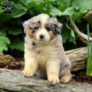 australian shepherd puppies pa australian shepherd puppies for sale in pa