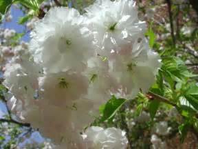 japanese flowering cherry shogetsu nature photo gallery