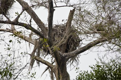 birds nest in tree bird nest secured in branches of a tree clippix etc