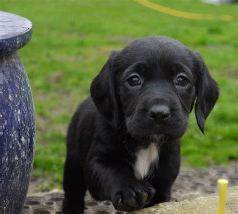 springador puppies f1 springador puppies for sale boston lincolnshire pets4homes