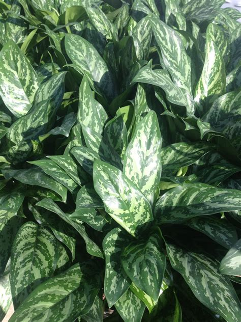 aglaonema elites capri farms  source  fine tropical