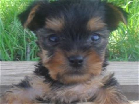 yorkie mn terrier puppies in minnesota