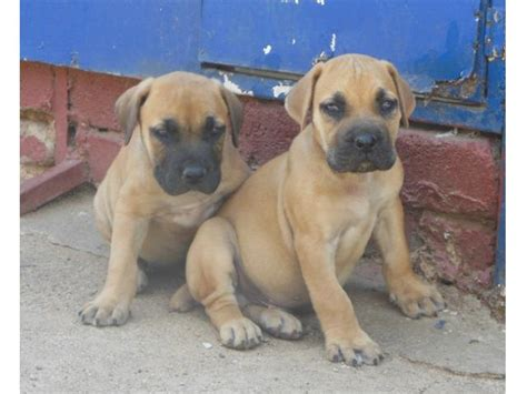 boerboel puppies for sale boerboel dogs for sale puppies for sale